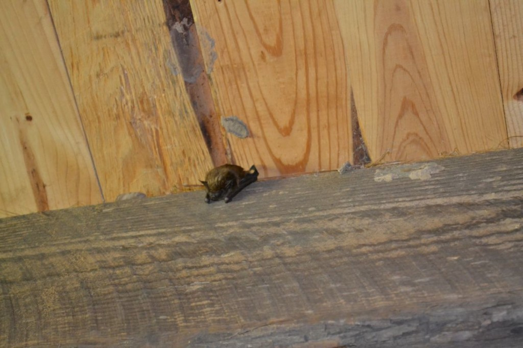 Bat at Cadron Settlement Conway AR