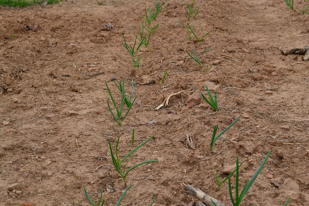 Onions coming up!